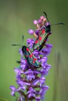 5 Spot Burnet Moths on Chalk Fragrant Orchid