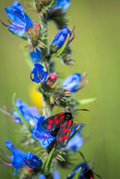 Burnet Moths on Vipers Bugloss