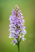 Common Spotted Orchid - Dactylorhiza Fuchsii